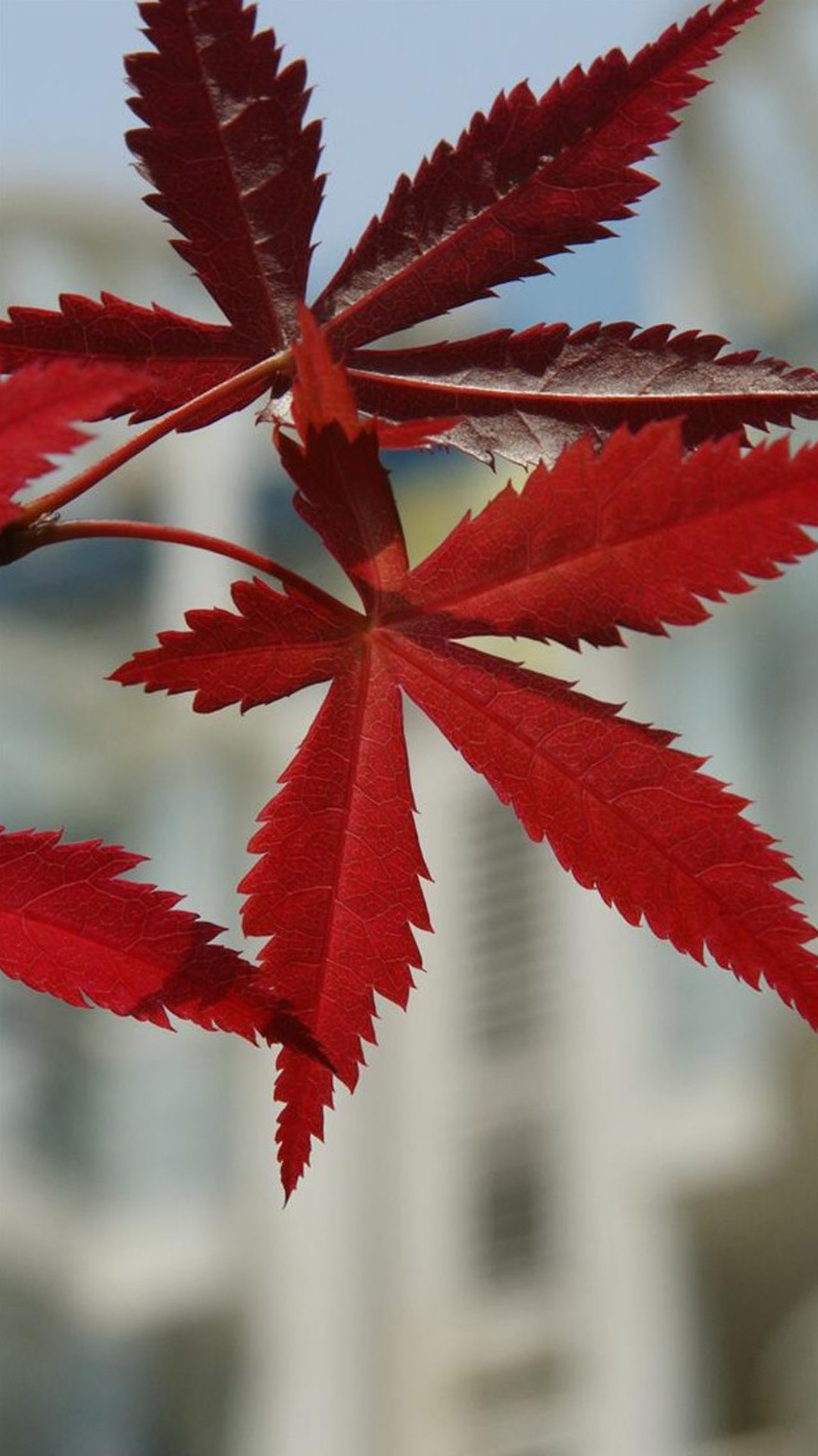 背景 壁纸 枫叶 红枫 绿色 绿叶 树 树叶 植物 桌面 1080_1920 竖版