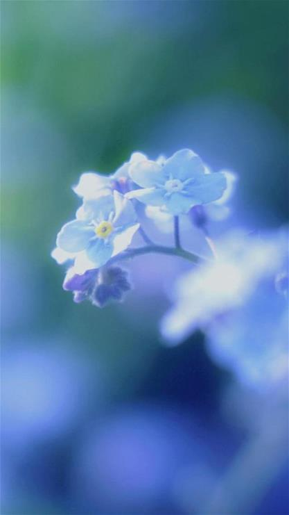 iphone6plus植物蓝色壁纸_iphone6plus植物蓝色壁纸