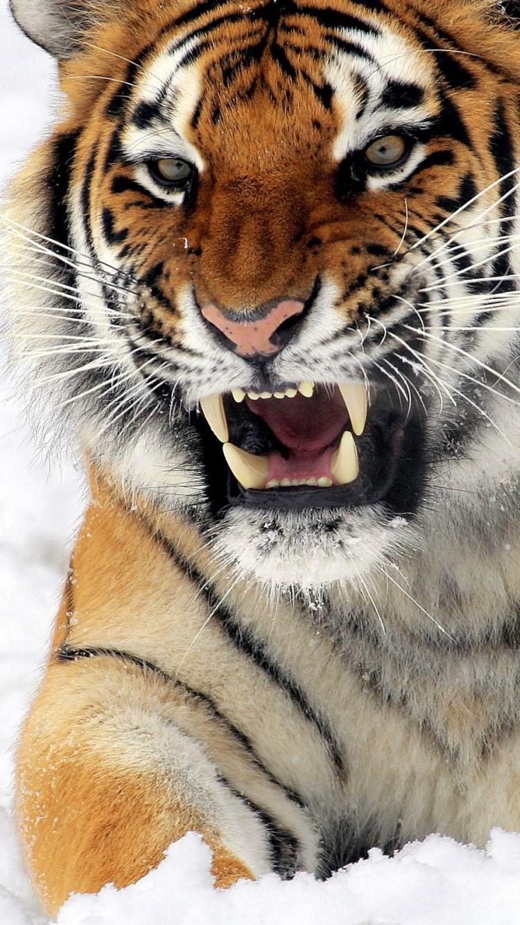 壁纸 动物 虎 老虎 桌面 750_1334 竖版 竖屏 手机