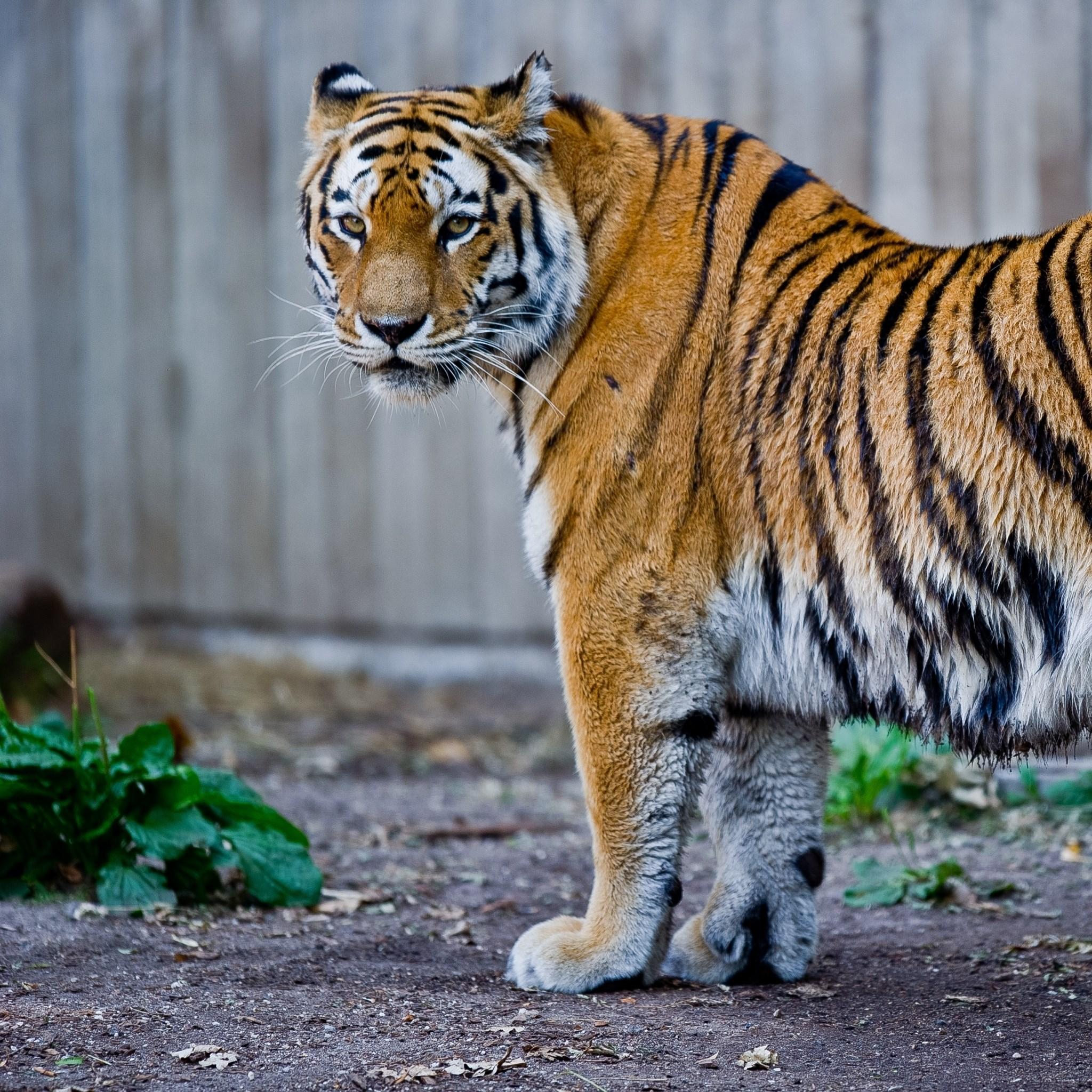 老虎可爱萌图片大全